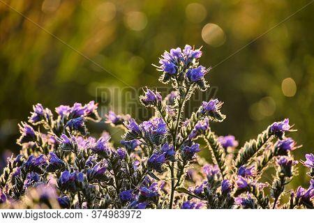 Field Purple Flowers Bruise Ordinary. Dewdrops On Plants Sparkle In Backlight.