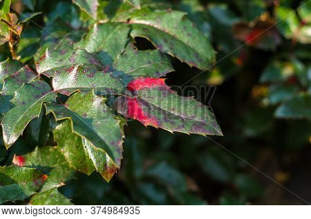 Green And Red Leaves And Blue Fruits Mahonia Aquifolium, Oregon Grape, In Autumn Garden