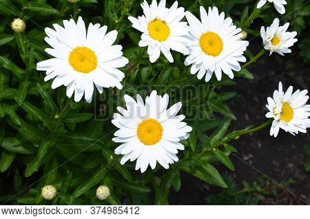 Several Camomile Flowers On A Background Of Greenery.