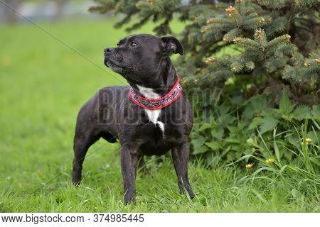 English Staffordshire Bull Terrier