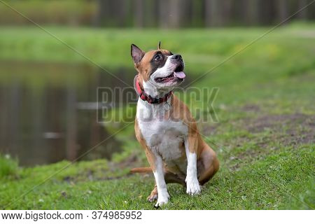 American Staffordshire Terrier Outdoor Portrait Near The Lake