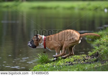 American Staffordshire Terrier Jumping Water In Summer Park