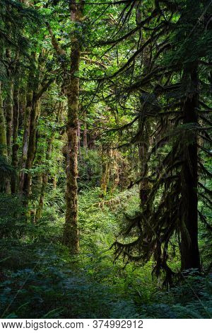 Canadian Rain Forest. Beautiful View Of Fresh Green Trees In The Woods With Moss. Taken In Golden Ea