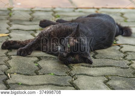 Green-eyed Short Tailed Stray Black Cat Of The Bobtailed Family, Common In Singapore, Laying On A Ti