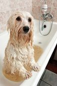 A wet cream havanese dog is bathing in a tube and looking to camera poster