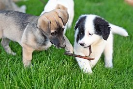 Puppies Play On A Green Lawn. Two Puppies Pull A Stick From Each Other. Puppies For A Walk.
