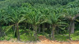 Oil palm trees in plantation for production of palm oil