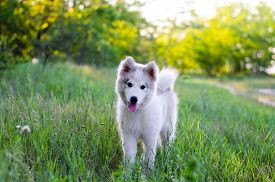 Samoyed Dog. White Puppy With Light Brown Abalone In Nature. Samoyed Puppy Stands In The Grass. Port