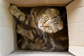 Close Up Portrait Of A Young Scottish Fold Cat. Funny Cat In A Cardboard Box.