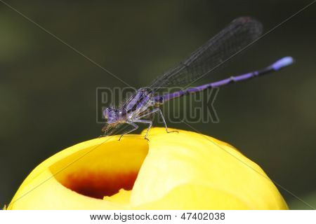 Violet Dancer On A Yellow Pond Lily