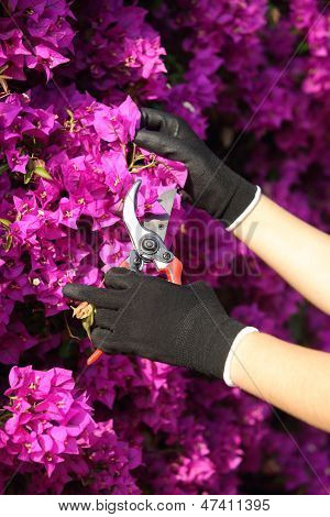 Gardener Hands With Gloves Cutting Flowers With Secateurs