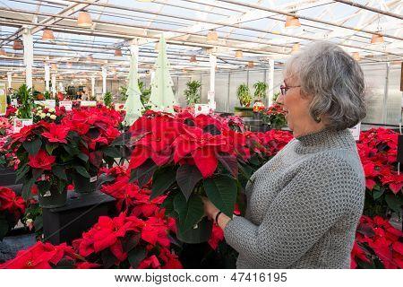 Woman Shopping For Poinsettias