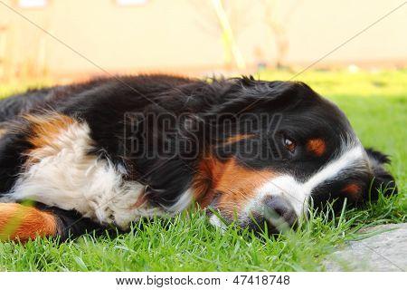 The sleepy dog
