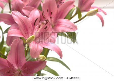 Pink Lillies Copy Space