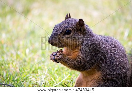 A squirrel eating a nut closeup with amazing detail poster