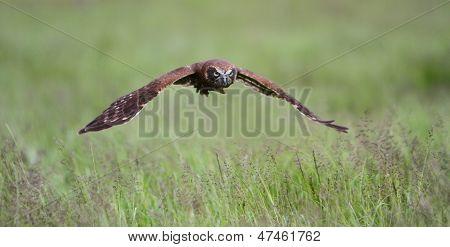 Boobook Owl In Flight