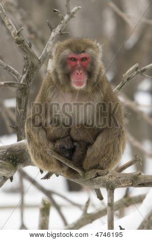 Snow Monkey Sitting On A Branch