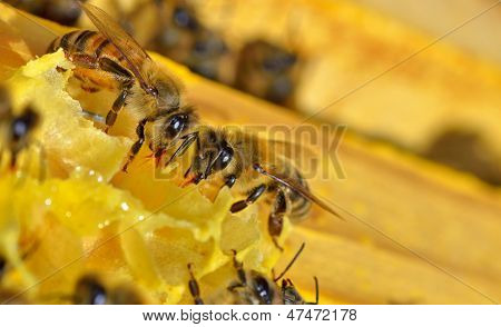 More Bees On A Honeycell