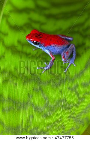 strawberry poison dart frog red and blue Oophaga pumilio from the Escudo Island Bocas del Toro in Panama tropical rainforest animal poster