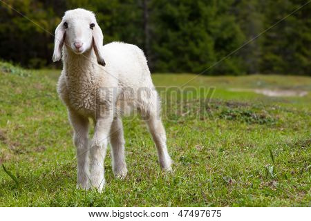 Exceptionally Cute, White Lamb In Green Meadow