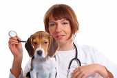 Veterinarian doctor making a checkup of a begle puppy dog poster