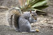 grey squirrel eating nut on path in park poster