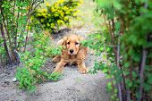 English cocker spaniel puppy in the bushes poster