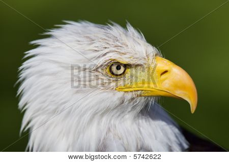 High resolution closeup of a  bald eagle portrait poster