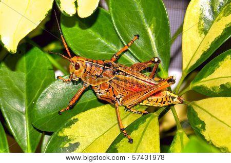 Florida's Giant Orange Lubber Grasshopper