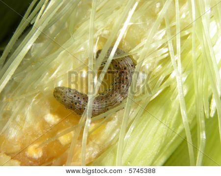 Corn Worm
