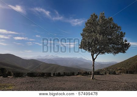 Olive Tree On The Hill, Corsica