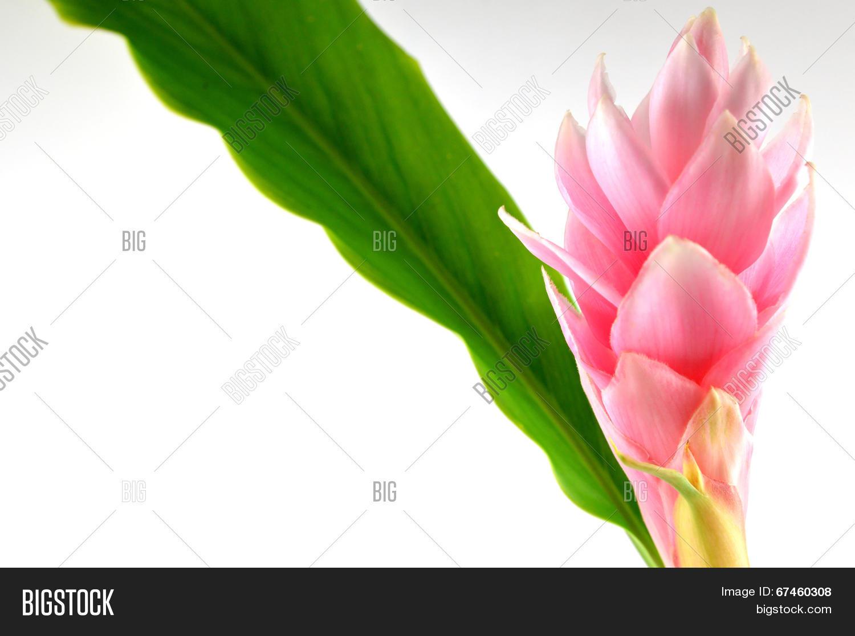 Pink Ginger Flower Image Photo Free Trial Bigstock