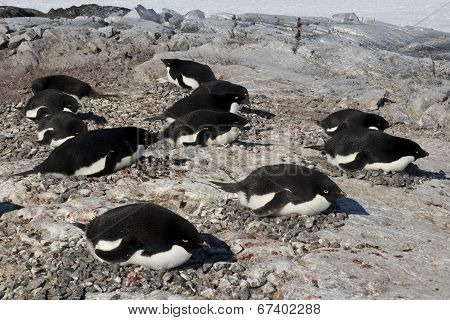 Adelie Penguin Colony On One Of The Antarctic Islands