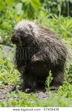 A curious little Porcupine standing on it's hind legs. poster