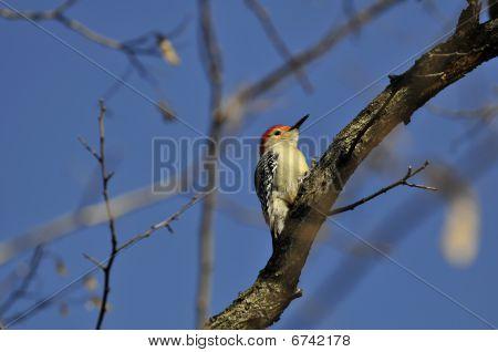 Red-bellied Woodpecker: Melanerpes carolinus