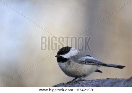 Black capped chickadee: Poecile atricapillus