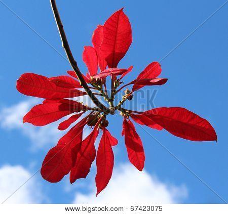 Poinsettia against a blue sky