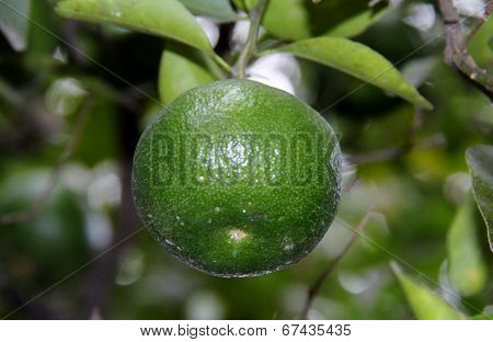 Lime growing on a tree