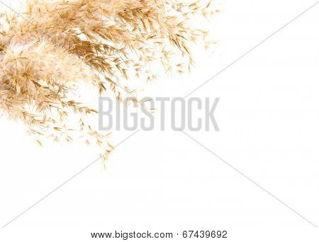 reed, isolated on white