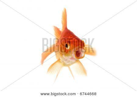 Goldfish Gawping