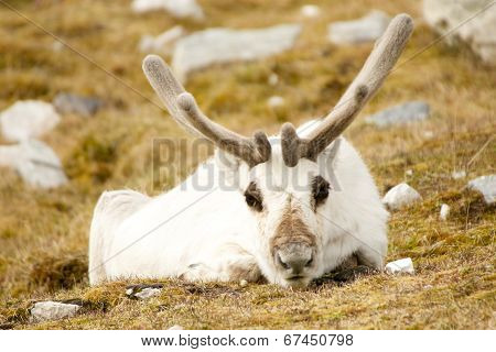 Close-up of prone reindeer staring at camera