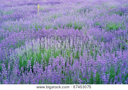 Lavender Flowers Field.