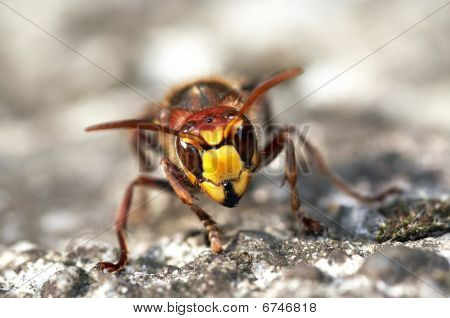 Mandibles Of Giant Hornet