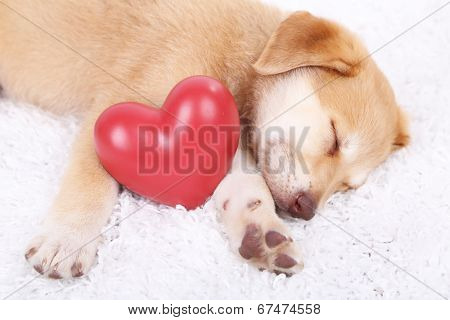 Little cute Golden Retriever puppy with red heart, on white carpet