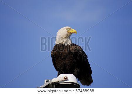 Bald Eagle:Haliaeetus leucocephalus
