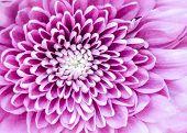 Macro detail of beautiful colorful blooming chrysantemum flower poster