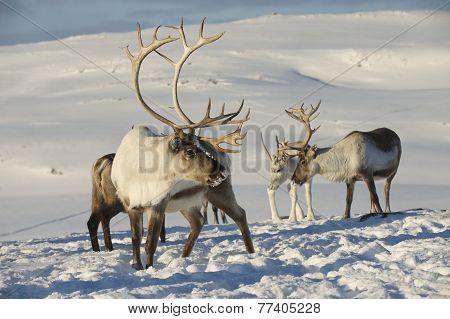 Reindeers in natural environment, Tromso region, Northern Norway.