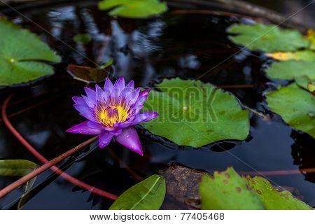 Purple Lotus Flower Opened