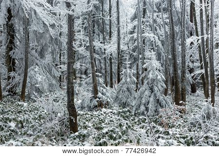 Frostbitten Limbs And Trees