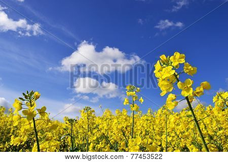 rape seed flowers in field with blue sky and clouds